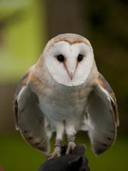 Papiers peints Chouette Portrait of a barn owl (Tyto alba) ready for flight