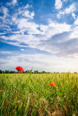Poppies in a wheat field. Composition of nature