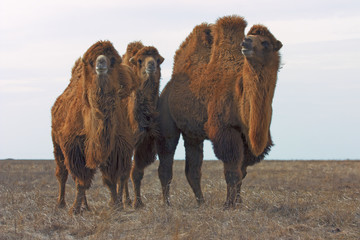 Group of Bactrians Camels