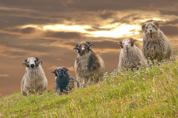 Rams sheep in the sunset golden sky background