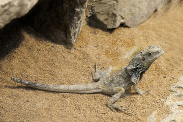 dragon barbu - pogona vitticeps