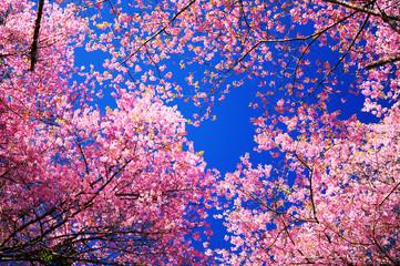 Papiers peints Fleur de cerisier Pink Sakura Cherry Blossom Flowers in Spring Season