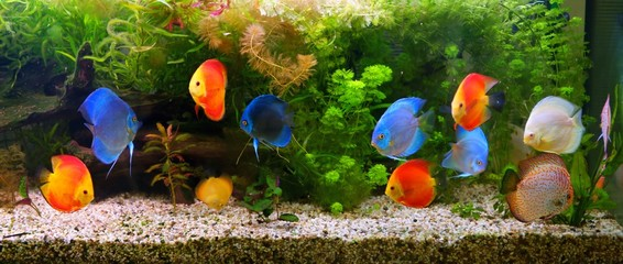 Discus (Symphysodon), multi-colored cichlids in the aquarium