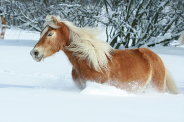 Fototapete - Nice haflinger with long mane running in the snow
