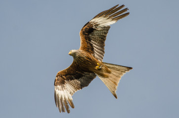 Red kite with prey Wall mural