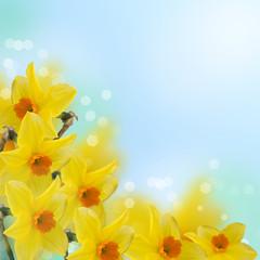Fresh spring flowers  of daffodils