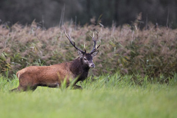 Red deer in the wild, in the clearing.