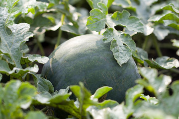 watermelon in the garden outdoors