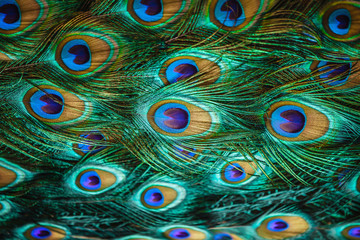 Fotobehang Pauw Colorful peacock feathers,Shallow Dof