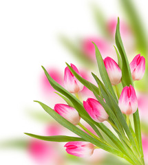 Pink spring tulip flowers isolated on white background