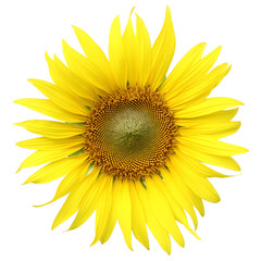 sunflower isolated on white background with clipping path