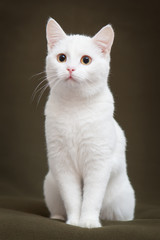 Beautiful white cat with yellow eyes sitting on blanket