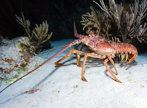 Red Lobster during Night Dive