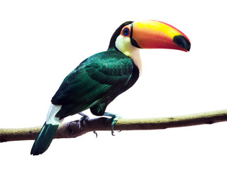 Poster Toekan Toco Toucan over white