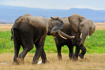 Playing African Elephants