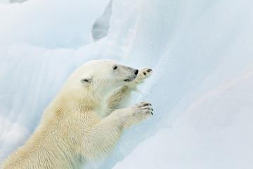 Polar bear climbing at Svalbard
