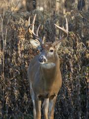 Fototapete - Standing Deer