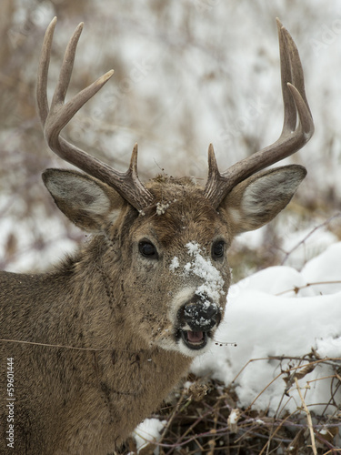Wall mural Deer with snow on its face