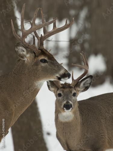 Wall mural Two Whitetail Bucks