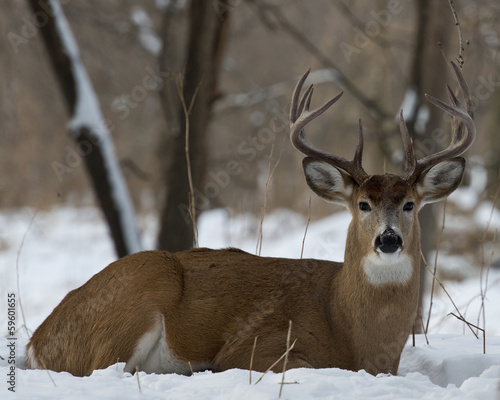 Wall mural Whitetail Deer laying in the snow