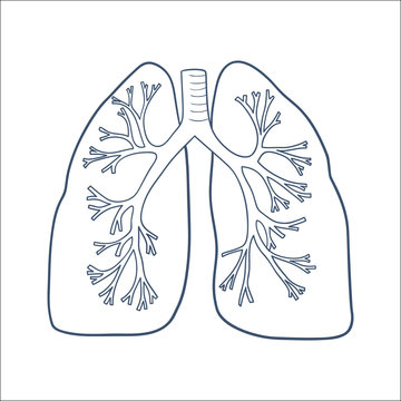 Anatomical lungs isolated on white.