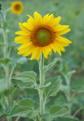 small sunflower