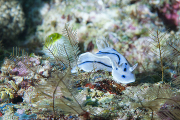 A white and black nudibranch