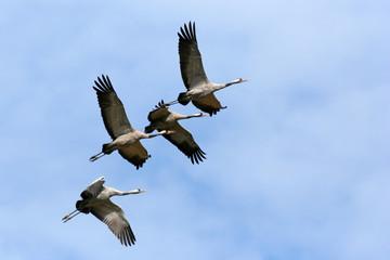 Common cranes (Grus grus) in flight