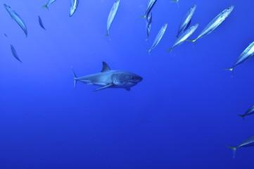 Weißer Hai jagd