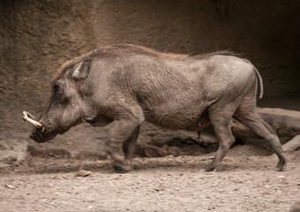 Wild Boar at the Berlin Zoo, Germany