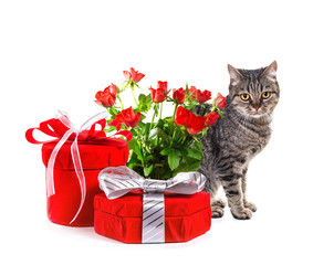 European cat with gifts. Isolate on white background,