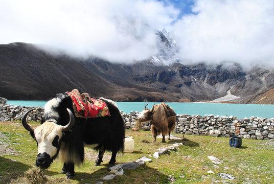 yaks at 5000M