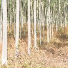 Eucalyptus plantations.
