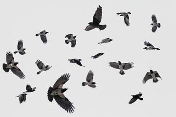Fototapeta gray flock of crows in flight on background