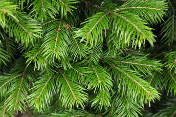 fir tree branches texture