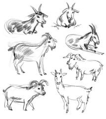 Wild goat. Set. Hand-drawn.