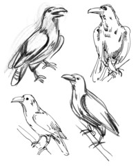 Common Raven. Set. Hand-drawn.