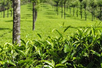 Teeplantage bei Munnar, Indien
