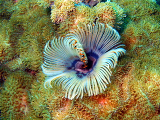 Gills of sea worm, island Maktan, Philippine