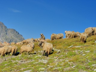 Flock sheep  in the top of the mountains