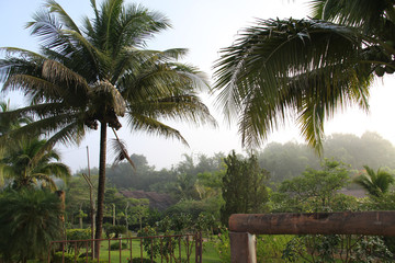 farm in the morning sun with coconut tree