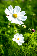 cosmos flower in chiangmai province Thailand
