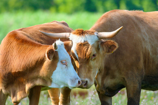 Cow and bull in love