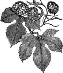 Common hop engraving