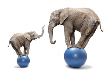Photo sur Plexiglas Elephant Elephant female and her baby elephant balancing on a blue balls.
