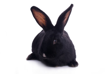 Small racy dwarf black bunny