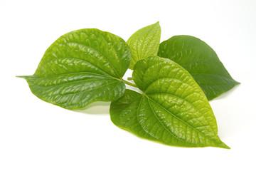 Wildbetal Leafbush (Piper sarmentosum Roxb.) Herbal  and medicin