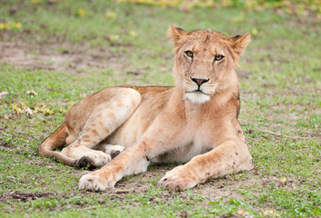 female lion lying lazy in the grass looking at camera