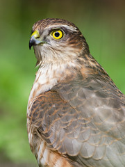 Sparrowhawk Portrait In Wildlife