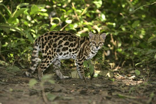 Margay or tiger cat or little tiger, Leopardus wiedii